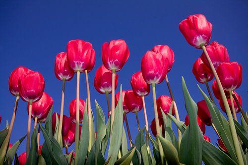 In volle bloei van
