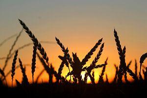 Korenveld bij ondergaande zon van Rob Hendriks