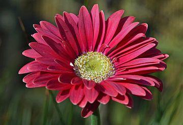 Rotviolette Blüte mit gelber Mitte, Gerbera von Robin Verhoef