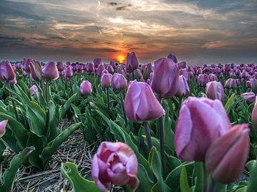 Tulpen paars van Patrick van Baar