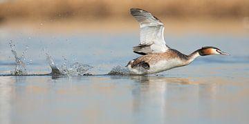 Fuut rennend over het water von Menno Schaefer