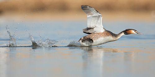 Fuut rennend over het water van