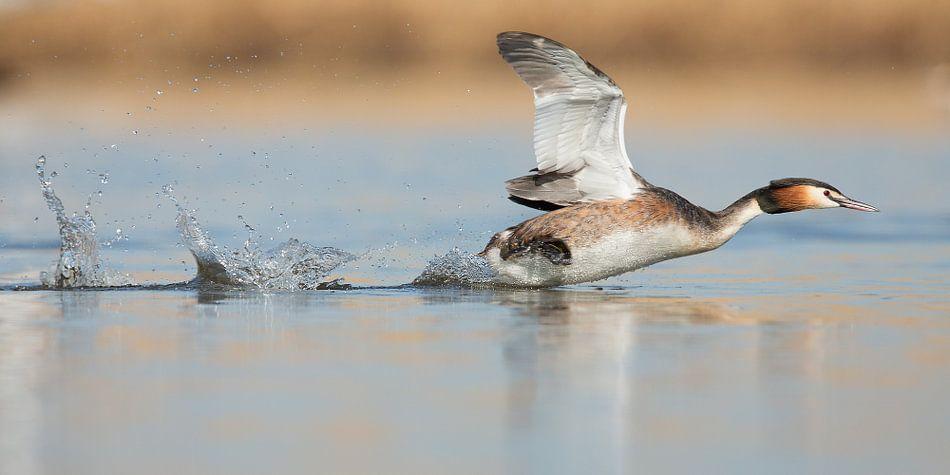 Fuut rennend over het water van Menno Schaefer