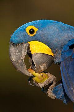 Nahaufnahme eines essenden Hyazintharas von AGAMI Photo Agency
