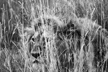 Lion caché dans l'herbe sur Pieter De Wit