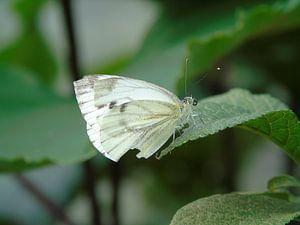 Prachtig witje ( Vlinder ) Tropische vlinders, Collectie 2018 van