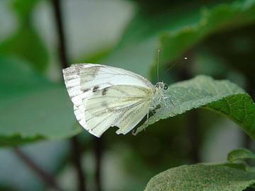 Prachtig witje ( Vlinder ) Tropische vlinders, Collectie 2018 von Jan van Bruggen