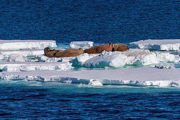 Eisscholle mit Walrossen von Merijn Loch