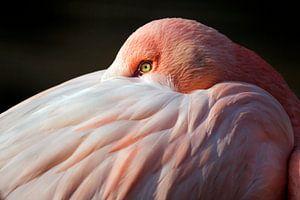 Porträt eines Flamingo