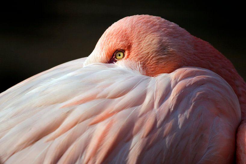 Porträt eines Flamingo von Edwin Butter