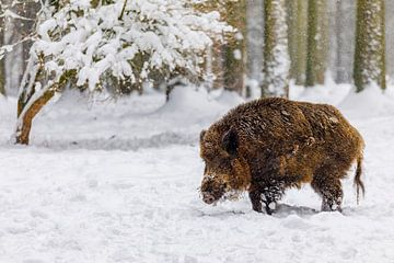 Wilde zwijnen in de sneeuw van Daniela Beyer