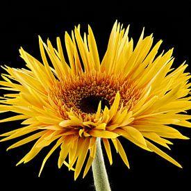 Gerbera, jaune sur Tanja van Beuningen