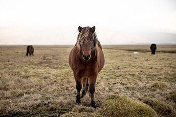 IJslander von FatCat Photography