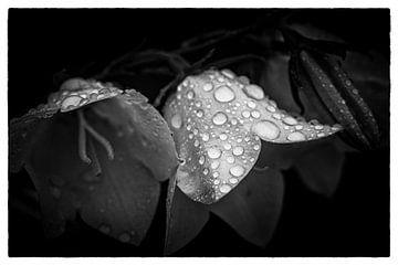 Wassertropfen auf Blumen von Thilo Wagner