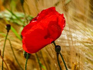 Poppies in the summer 4