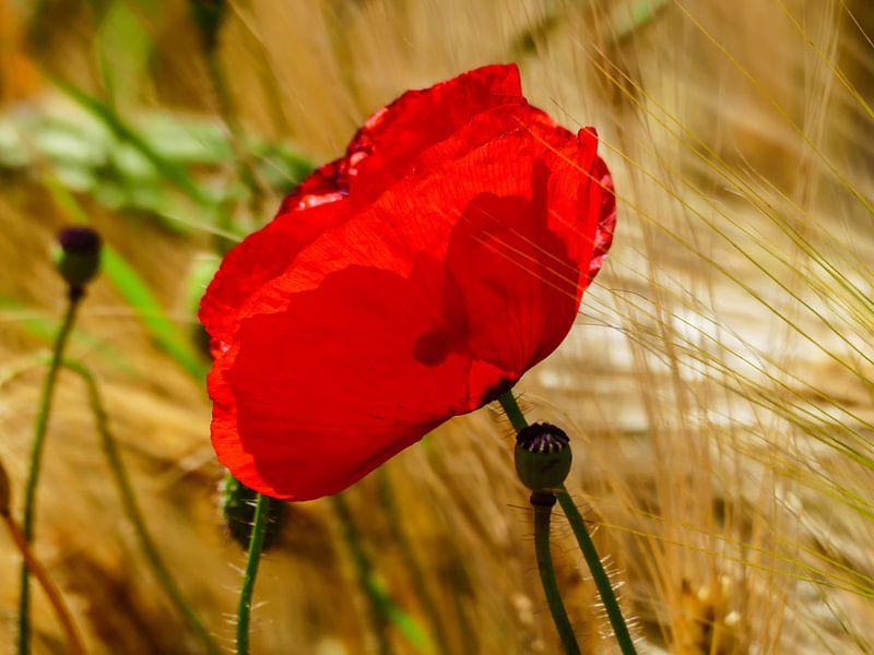 Poppies in the summer 4 van brava64 - Gabi Hampe
