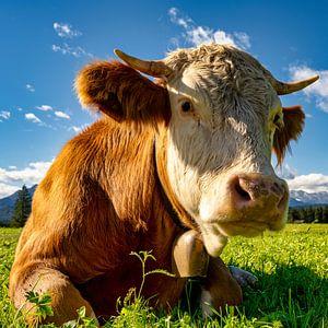 Portait einer glücklichen Kuh