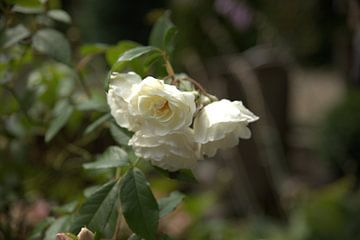 witte roos van harm Henstra