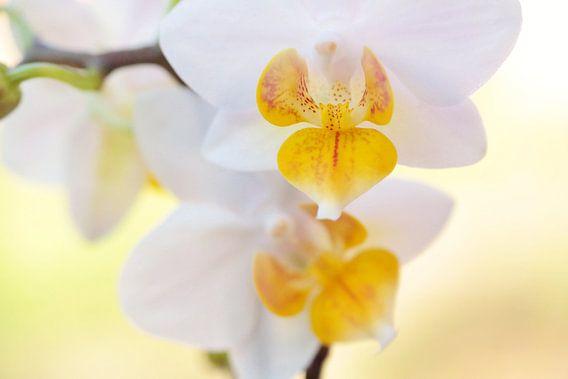 White Orchid van Julia Delgado