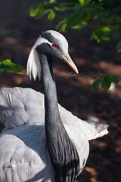Demoiselle Kranich - schöner Vogel in Nahaufnahme. Rote Augen, blaue Federn und eine graziöse Haltun von Michael Semenov