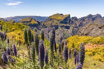 Madeira-Natternkopf auf der Insel Madeira von Werner Dieterich