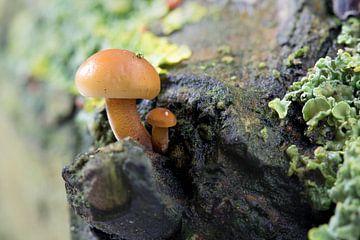 Paddestoel op een boom van Rolf Pötsch