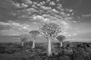 Köcherbaumwald von Felix Sedney
