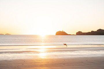 Wallabie op het strand van