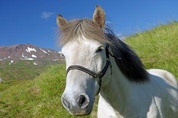 Un vrai Islandais sur Reinhard  Pantke