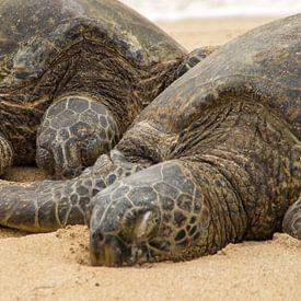 Two Hawaiian green sea turtles sur Andrea Ooms