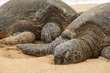 Two Hawaiian green sea turtles von