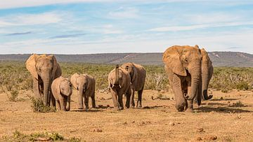 Laufende Elefantenherde Südafrika