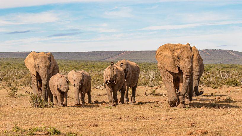 Laufende Elefantenherde Südafrika von John Stijnman