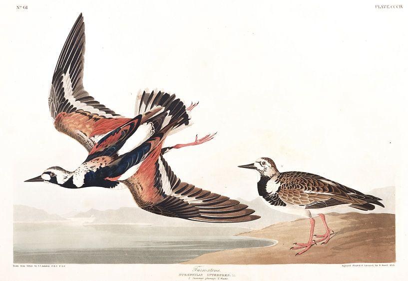 Steenloper van Birds of America