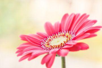 Roze Gerbera van Victor van Dijk