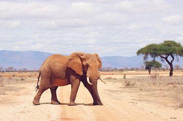 Grote olifant steekt pad over van