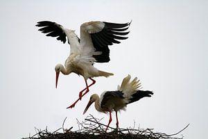 Vogel | Ooievaar van