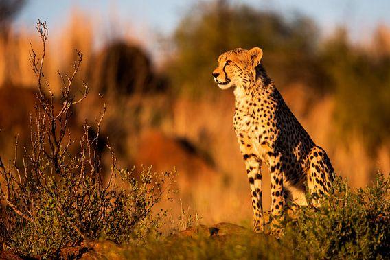 Jachtluipaard (Acinonyx jubatus) op de uitkijk tijdens zonsondergang, Zuid-Afrika