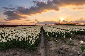 Tulpenveld van Jan Koppelaar