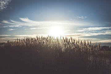 Blühende Reedfedern in der Abendsonne von Fotografiecor .nl