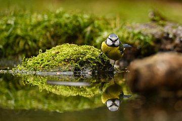 Pimpelmees aan het water van