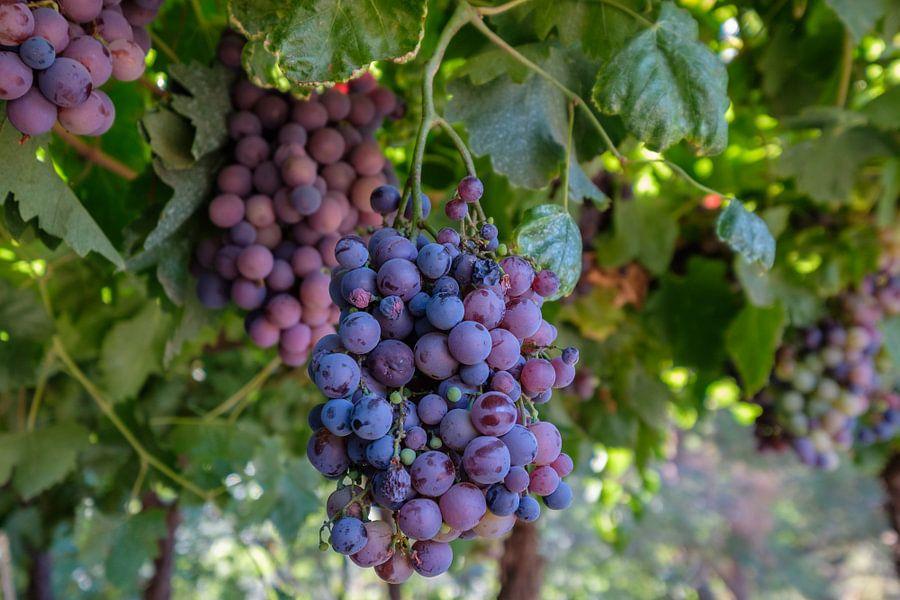 Rijpe druiven in een wijngaard van Erwin Blekkenhorst