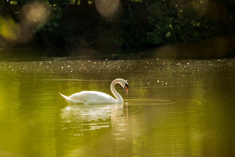 Witte zwaan in een meertje van Tonko Oosterink