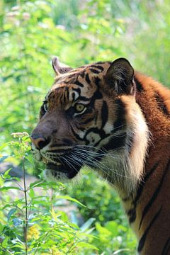 Hoofd van een tijger met groene achtergrond