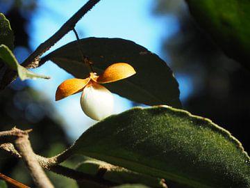 Blume Südafrika von Moniek Salomons
