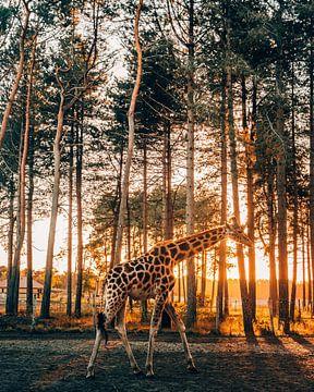 Giraffe von Marion Stoffels