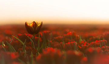 Tulpen van Jeroen Mondria