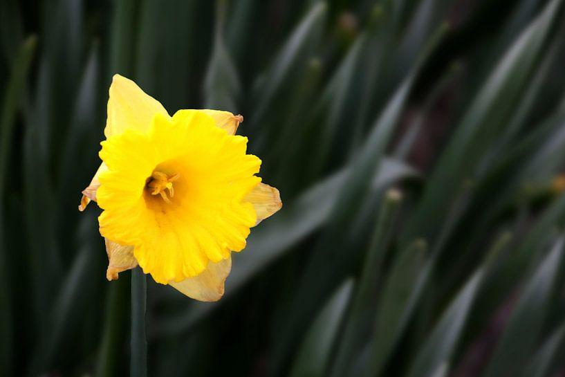Gele Narcis van Henk Langerak