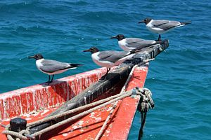 Meeuwen op bootje