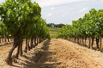 Druivestokken in een wijngaard in Zuid-Frankrijk (4) van rene marcel originals